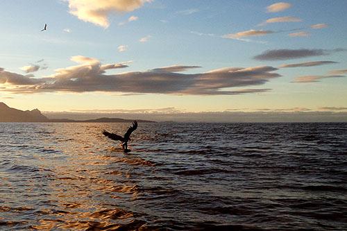 Bilde av havørn (Haliaeetus albicilla) som fanger fisk - tatt med iPhone 5 kamera
