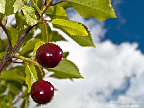 Bilde av modne kirsebær dyrket i Nord Norge